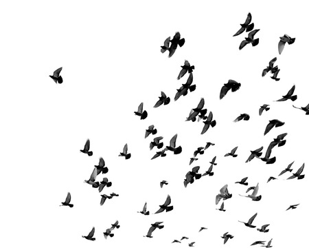Silhouettes of pigeons. Many birds flying in the sky. Motion blur Stock Photo