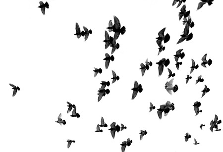 Silhouettes of pigeons. Many birds flying in the sky. Motion blur photo
