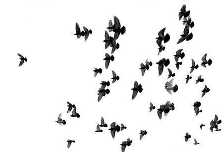 effortless: Silhouettes of pigeons. Many birds flying in the sky. Motion blur Stock Photo