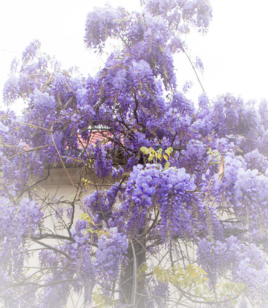 wistaria: Beautiful wistaria flower in the garden. Glicina tree flowers. Spring time Stock Photo