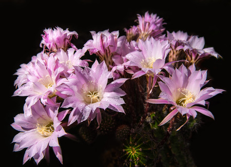 20 years old: Beautiful pink cactus flowers. 20 years old cactus Stock Photo