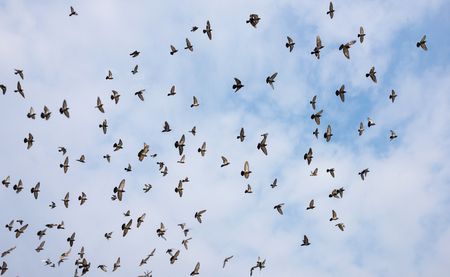 pigeon: Silhouettes of pigeons. Many birds flying in the sky. Motion blur Stock Photo