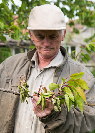 examining: Farmer examining cherry trees in the garden Stock Photo