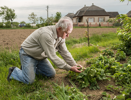 examining: Farmer examining blooming strawberry in the garden Stock Photo