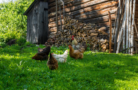 gramma: Eating chickens on a poultry yard Stock Photo