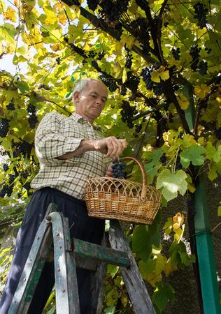 Senior farmer inspecting the fresh grape crop. Senior man harvesting grapes in vineyard