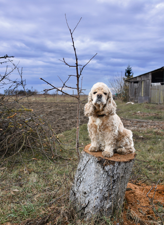 American Cocker Spaniel sitting on a stump