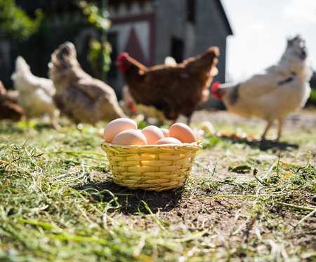 Fresh organic eggs in the basket. Hens in the background
