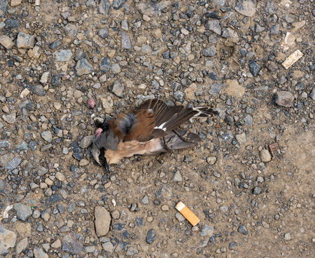 Dead sparrow lying on the ground, chewing gums kill bird