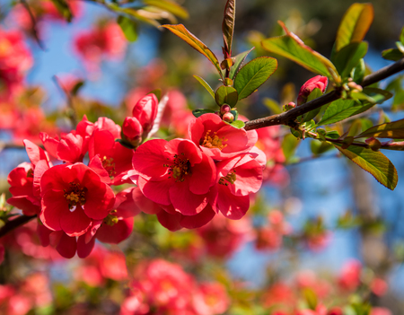 Japanese quince flowers. Chaenomeles, small red flowers in spring time in sunny day