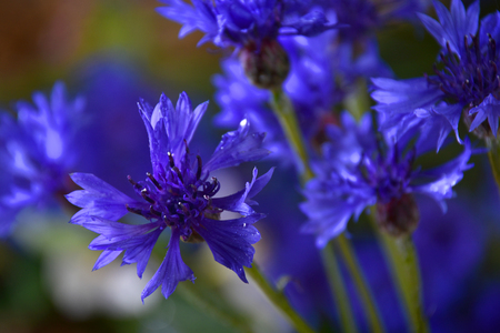 Cornflowers. Blue Flowers Blooming Background. Bouquet of blue cornflower Фото со стока