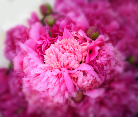 Close up of beautiful pink peony flower. Natural background. Blooming flower texture Фото со стока