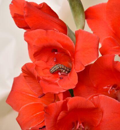 Close-up caterpillar creeping in a red gladiolus flower Reklamní fotografie