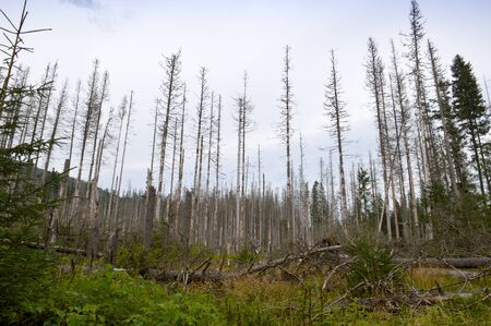 Dying spruce forests due to climate change, dryness and huge breeding of bark beetles