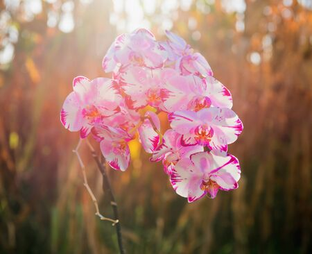 Elegant pink & white orchid outdoors in the evening light Banque d'images - 130805863