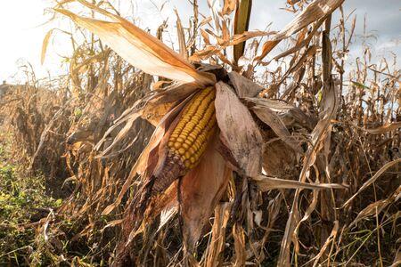 Ripe maize corn on the cob in the field