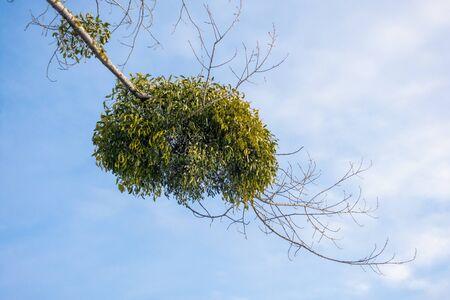 Mistletoe parasite plant on a tree