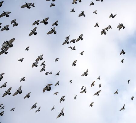 Silhouettes of pigeons. Many birds flying in the sky Archivio Fotografico