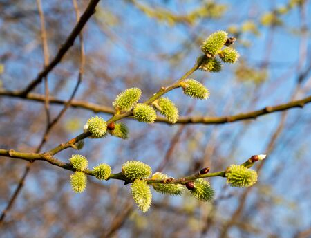 Poplar flowering catkins in early spring