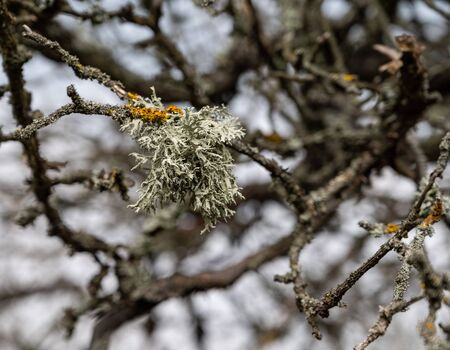 Lichen on tree branch in spring Stock Photo
