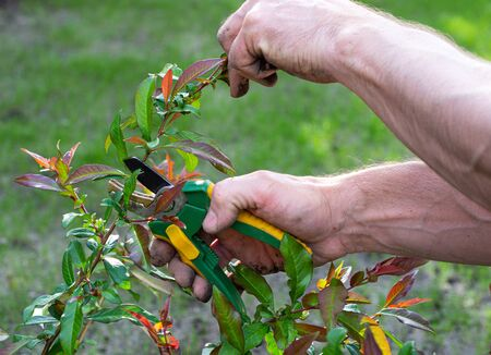 Spring seasonal gardening. Mans hands with secateurs cutting off bush branches