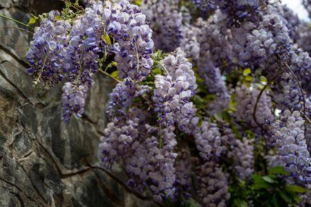 Flowering Wisteria plants. Beautiful purple wisteria in bloom ( Fabaceae Wisteria sinensis )
