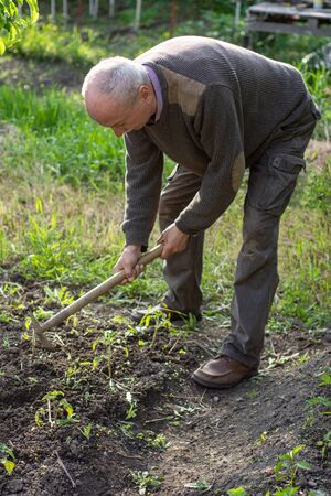 Man farmer working with hoe in vegetable garden, hoeing the soil near tomato plants