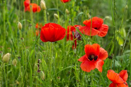 Summer landscape of poppies field in sunny day