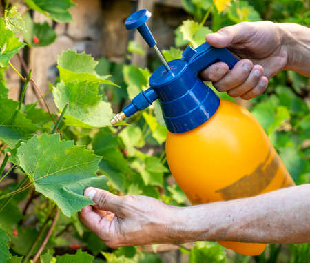 Gardening concept.  Male gardener spraying grapevine from vermin using sprayer 写真素材
