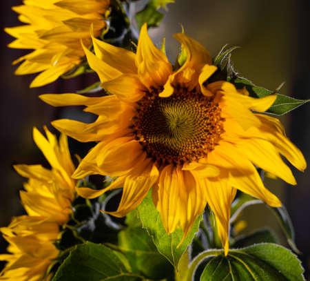 Beautiful bouquet of sunflowers. Autumn still life 免版税图像