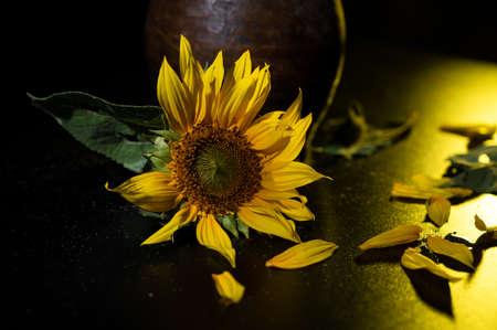 Beautiful sunflower on a black background. Autumn still life