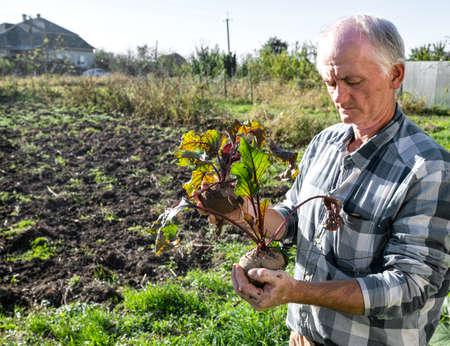 Agricultural concept. Farmer holding fresh beet root. Organic vegetables harvest