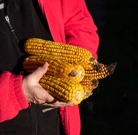 Agricultural concept. Farmer holding corn ear on the cob outdoors