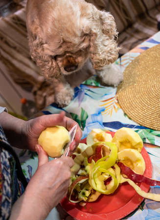 Woman peeling an apple, spaniel begging for an apple from the owner