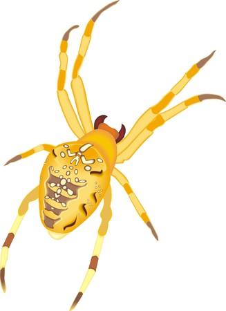 menacing: Cross or diadem spider in menacing position