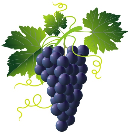 grapes on vine: bunch of blue grapes isolated with green leaves on white