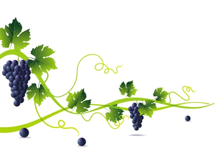 winemaking: anstract green liana and bunch of blue grapes with green leaves Illustration