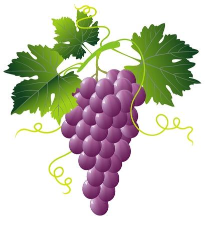vid: racimo de uvas de color rosa con hojas verdes aisladas sobre fondo blanco Vectores