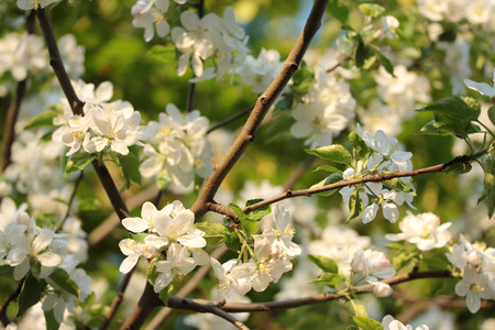 branches of flowering apple tree on sunshine day