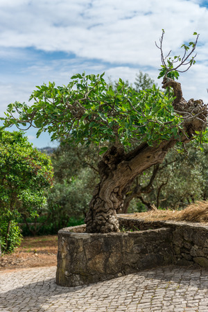 miracle tree: Fatima, Portugal, April 25, 2014 - Tree in the home town of Jacinta Marto and Sister Lucia, two of the three young shepherds that witnessed the apparition and miracle. Stock Photo