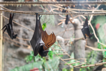 pteropus: Malayan Bat (Pteropus vampyrus) hanging on a rope with its head down