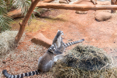 ring tailed: The ring tailed lemur (lemur catta) eating and sitting by a tree.
