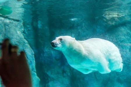 Polar Bear (Also known as Thalarctos Maritimus or Ursus Maritimus) swimming under water.