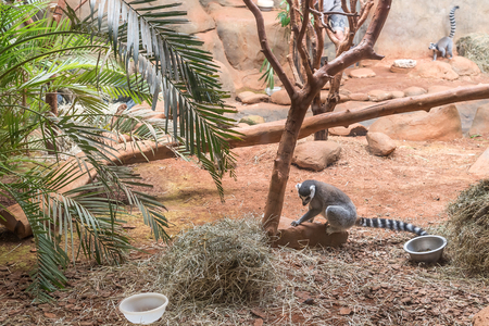 ring tailed: Sao Paulo, Brazil, jan 16, 2016: The ring tailed lemur (lemur catta) eating and sitting by a tree.