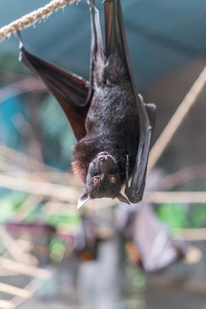 pteropus: Sao Paulo, Brazil, jan 16, 2016: Malayan Bat (Pteropus vampyrus) hanging on a rope with its head down