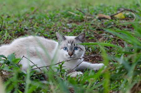 scamp: Cute cat with blue eyes playing around in the grass
