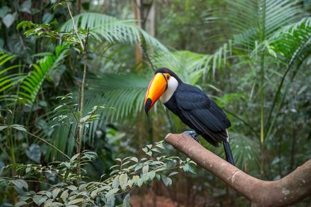 Exotic toucan a brazilian bird in nature at the Foz do Iguacu, Parana, Brazil.