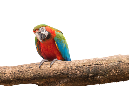 aviary: Colorful of red and Gold Macaw aviary parrots portrait on white isolated background