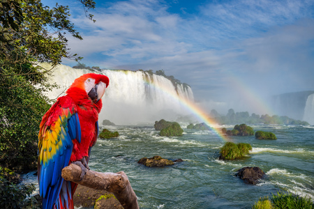 ararauna: The macaw parrot at the Cataratas of Iguassu (Iguasu) falls located on the border of Brazil and Argentina