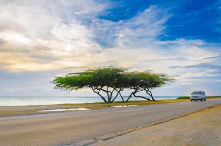 aruba: Aruba, Caribbean - September 25, 2012: Beautiful exotic Tree under the magic golden hour against the azure sea and blue sky, Caribbean Islands